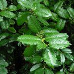 Daily Leafy Greens Slows Brain Aging