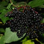 Elderberries Help Minimize Flu Symptoms