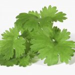 New Study Reveals the Molecular Mechanism for the Therapeutic Effects of Cilantro